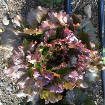 Lettuce, Redleaf Head SB