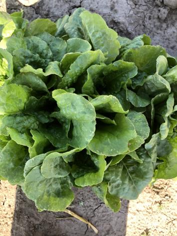 Lettuce, Buttercrunch NF