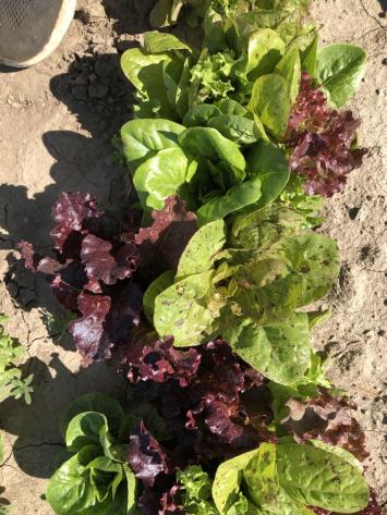 Lettuce, Salad Mix NF