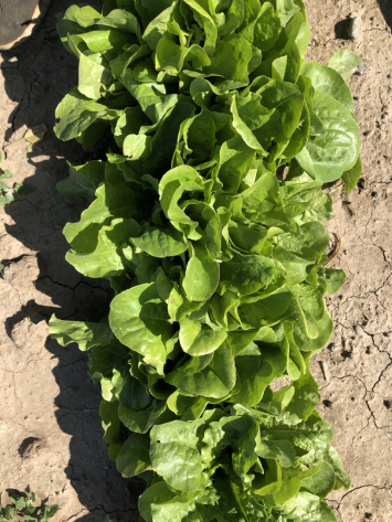 Lettuce, Leaf NF
