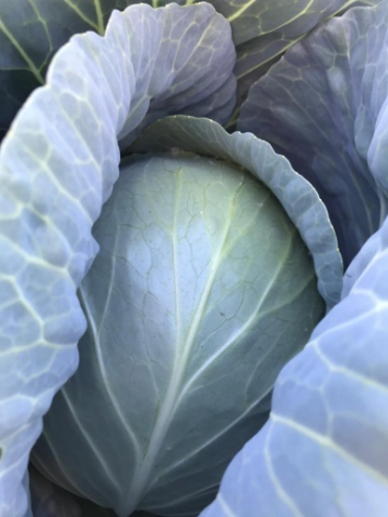 Cabbage, Fall FM