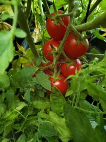 Tomatoes, Cherry RE