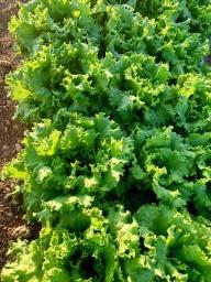 Lettuce, Greenleaf