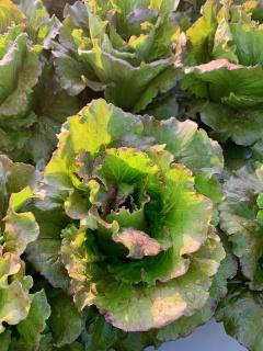 Lettuce, Red Summer Crisp