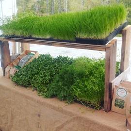 Microgreens, Broccoli IB