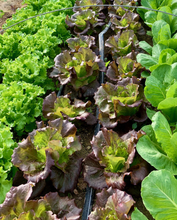 Lettuce, Greenleaf FM