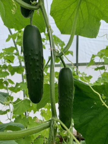 Cucumbers FM
