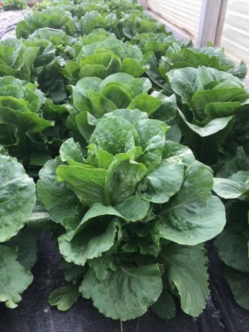 Lettuce, Romaine CG