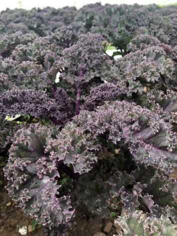Kale, Curly Red LF