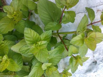 Mint, Apple FA