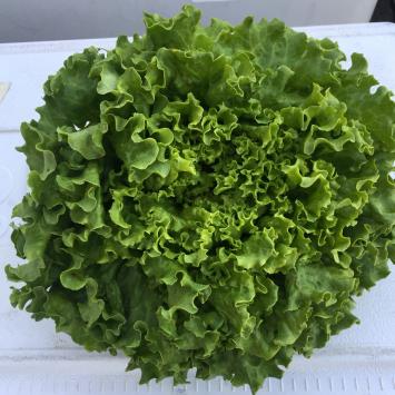 Lettuce, Greenleaf Head SB