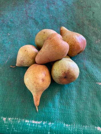 Pears, Bosc WW