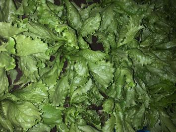 Lettuce, Iceberg NF