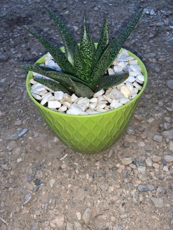 "Aloe Aristata 6"" Pot NF"