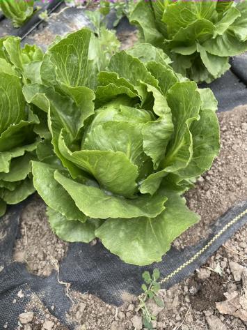 Lettuce, Romaine PFF
