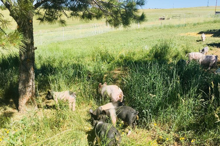 Why Does Pasture-Raising Pork Matter?