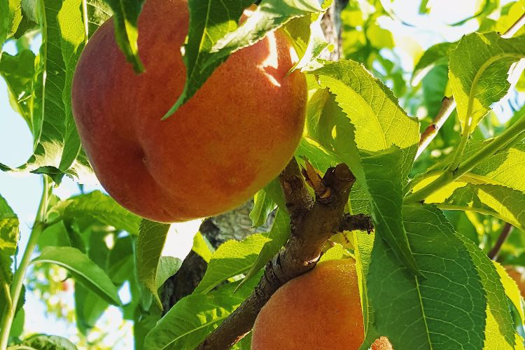 The Importance of Buying Local, Organic Peaches
