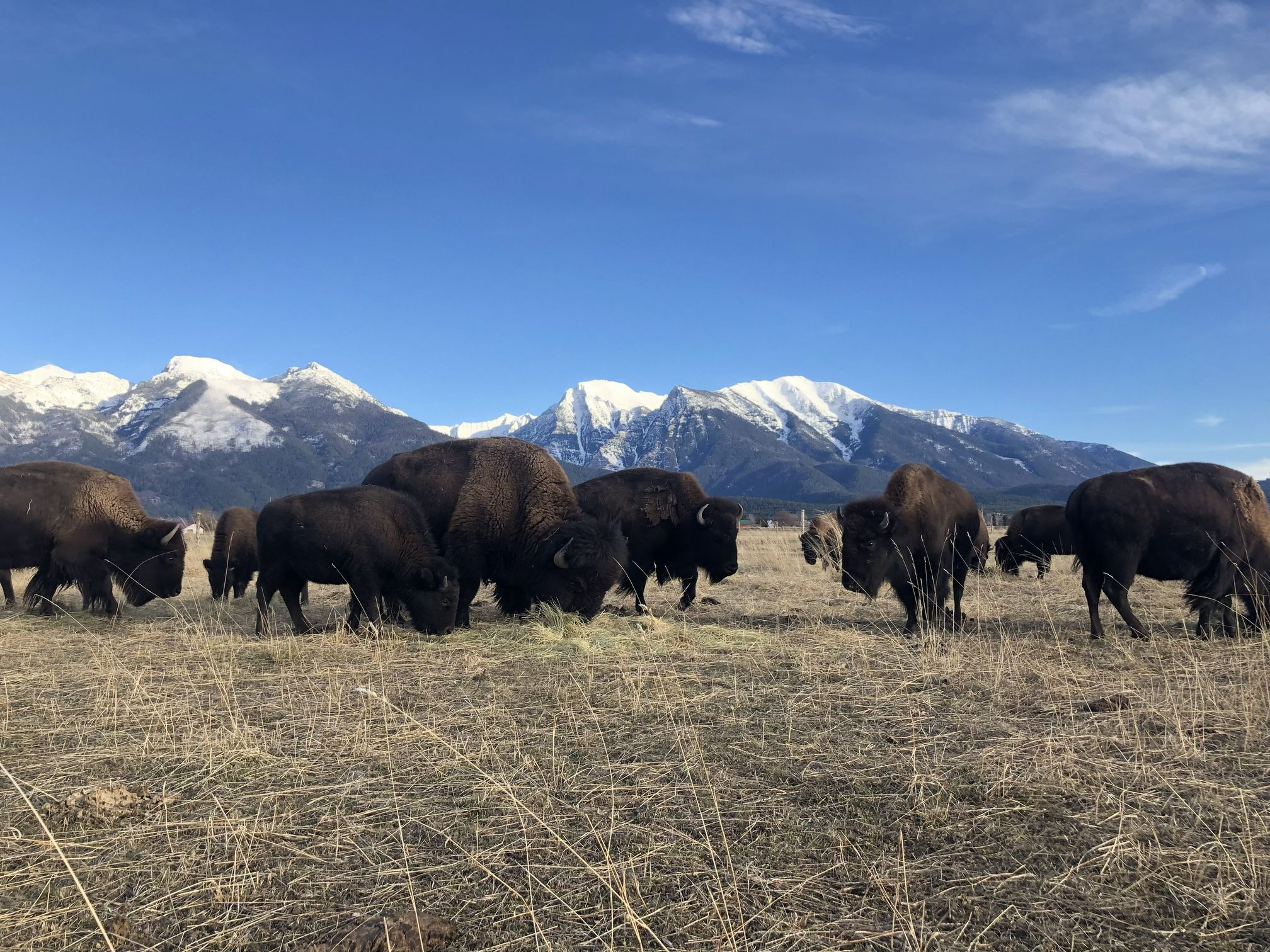 Grass fed, grass finished bison on pasture in Montana