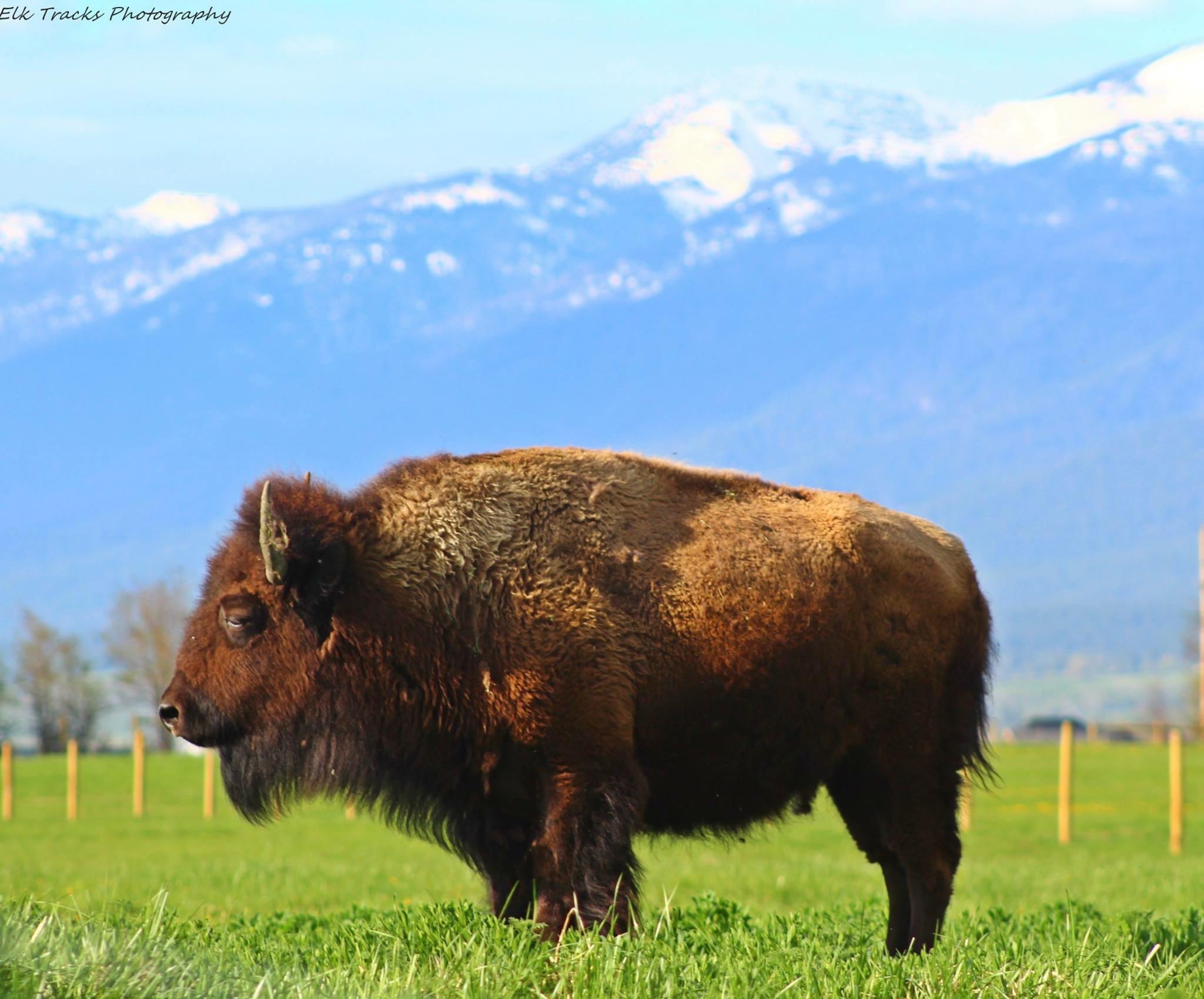 Grass Fed Bison Cow Enjoying The Sunshine