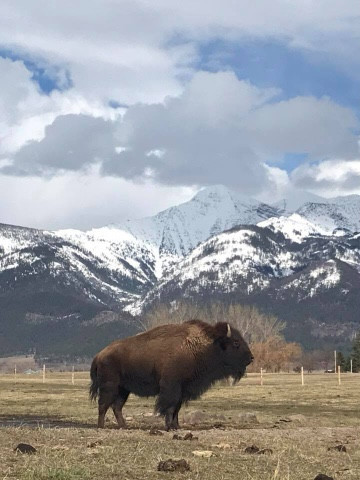 A bison cow in pasture staring at the Montana mountains.