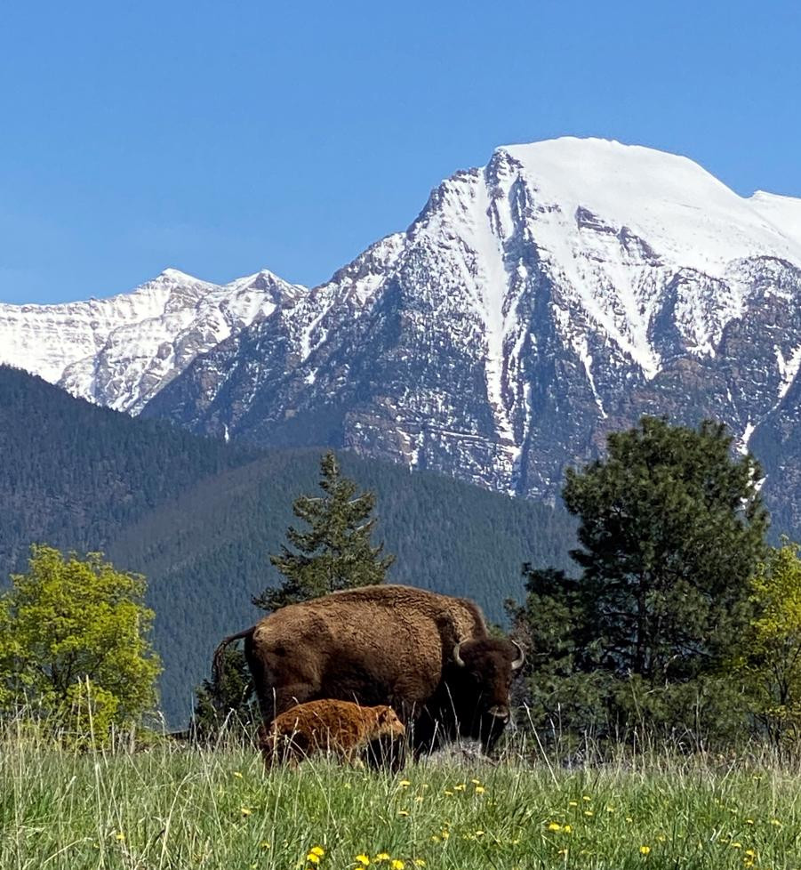 A grass fed bison cow and her new calf on a regeneratively managed pasture in front of the Mission Mountains in Montana.