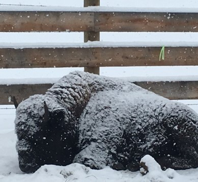 Grass fed bison laying in the snow