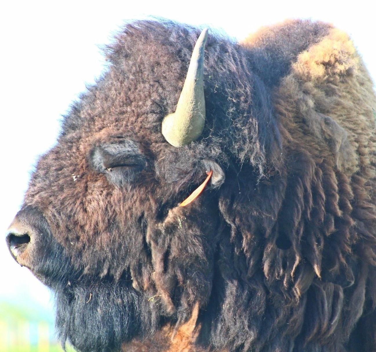 Bison bull Wilbur enjoying the sun