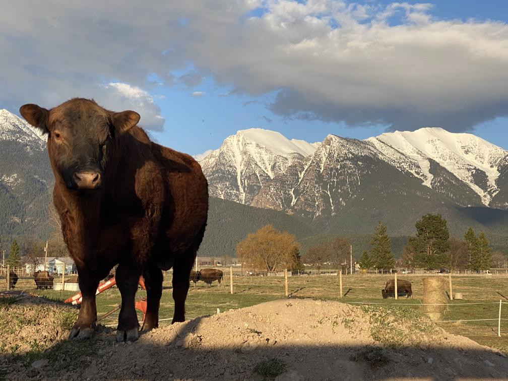Red Angus Bull In Front Of The Mission Mountains