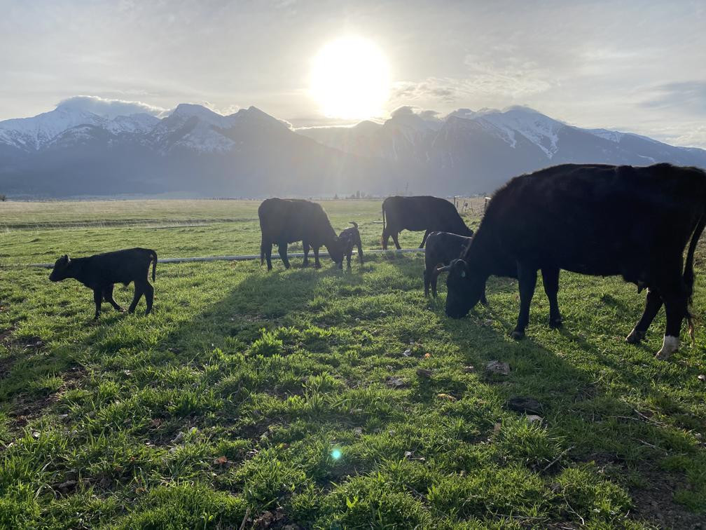 Angus cross cattle grazing In Montana.