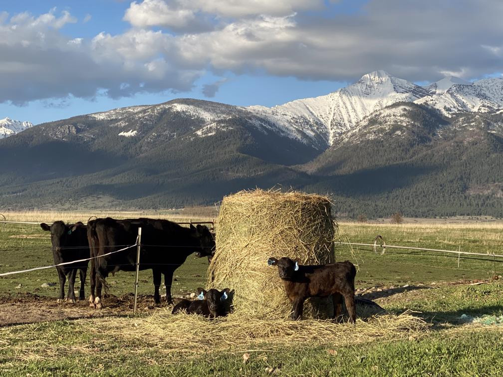 Angus Cross Cattle In Front Of The Mission Mountains In Montana