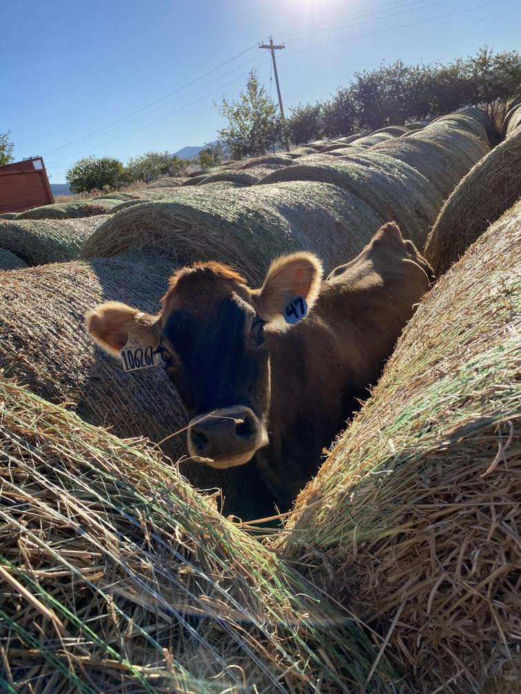 Jersey Heifer In Haystack
