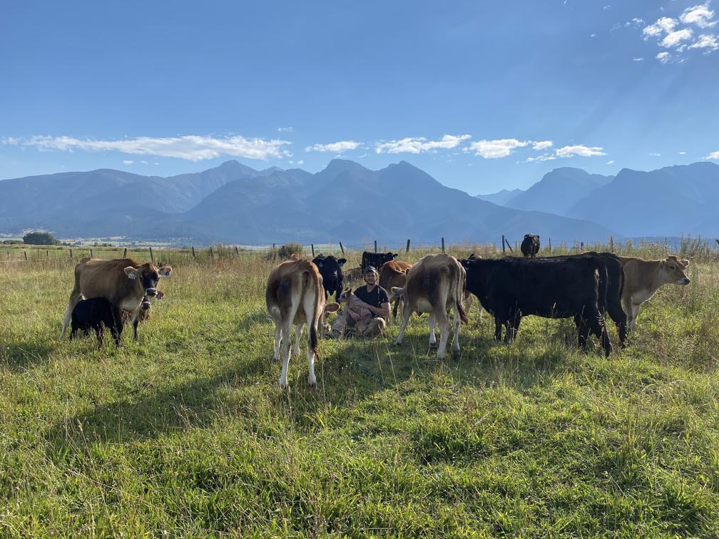 Herd Of Grass Fed Cattle On Pasture