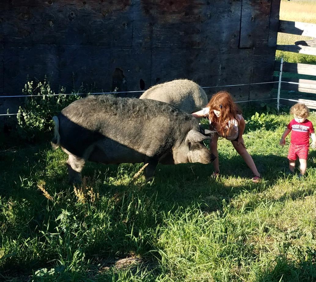 Friendly pasture raised Mangalitsa sows