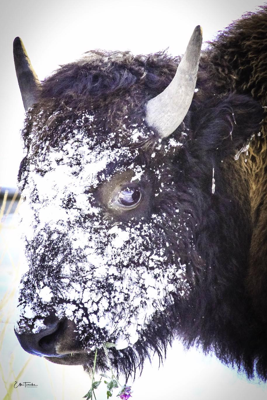 A yearling bison bull with a piece of clover he found in the snow.