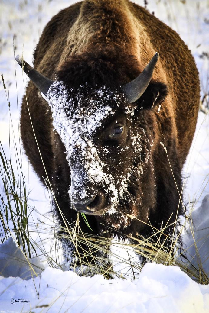 Yearling bull who's been rummaging in the snow