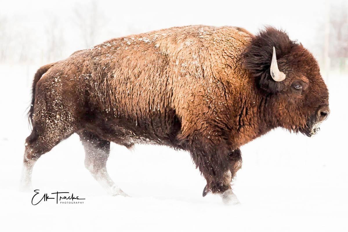 It's bison week!