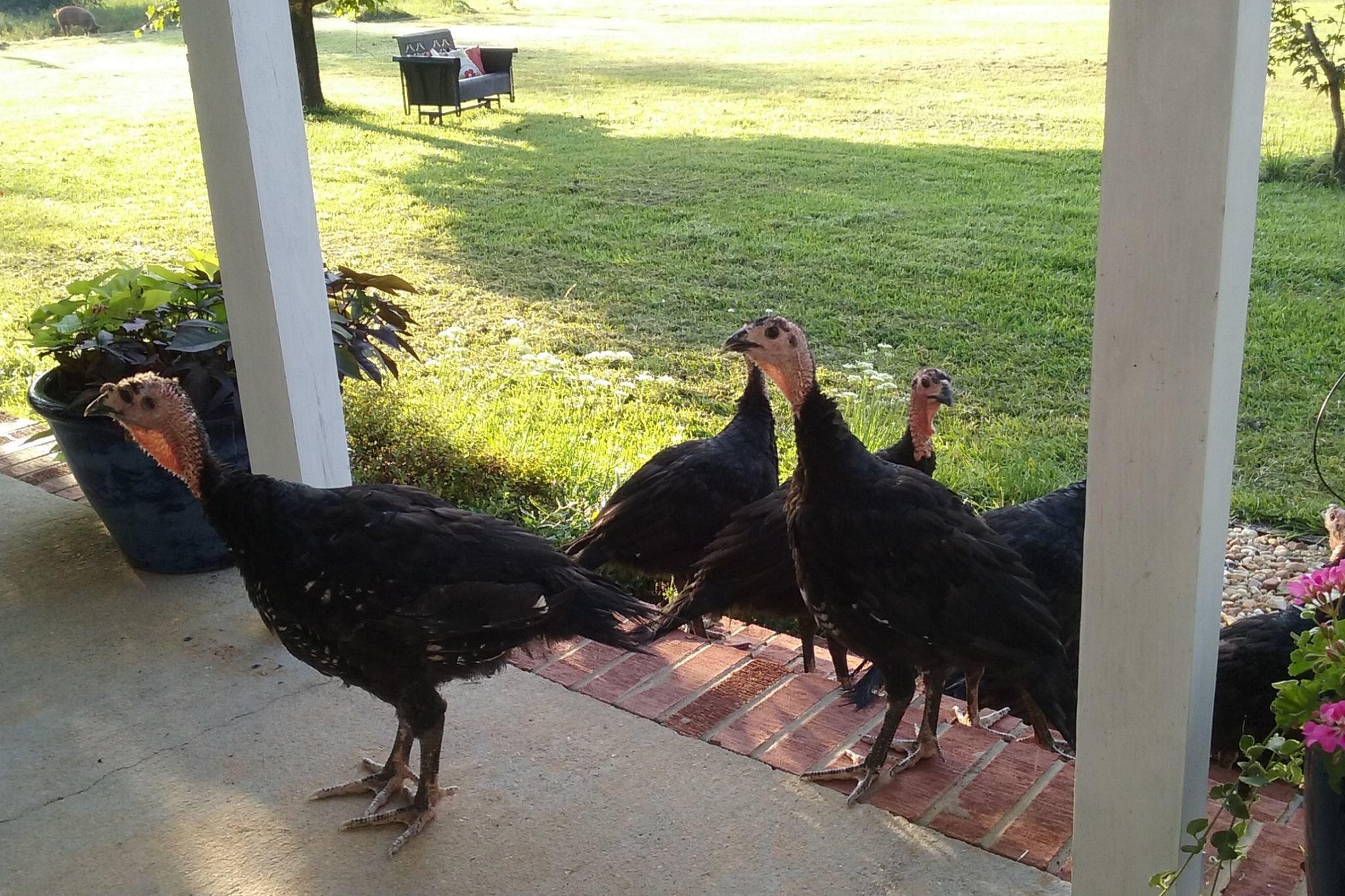 Turkeys-porch.jpg