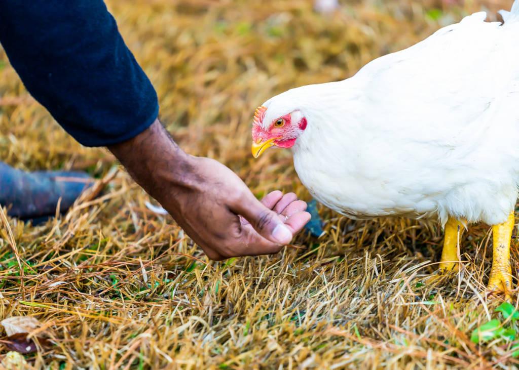 feeding-chicken-by-hand.jpg