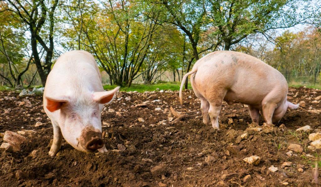 pigs-in-dirt.jpg