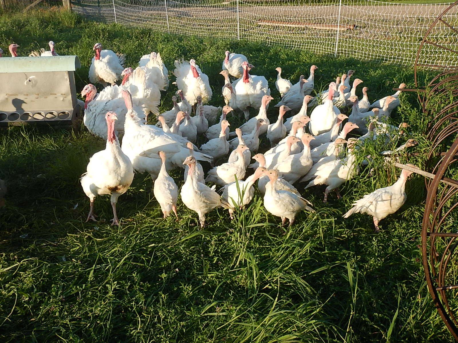 Turkey - Pastured, Whole
