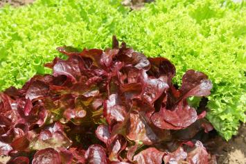 Red Oak Leaf Aquaponic Lettuce