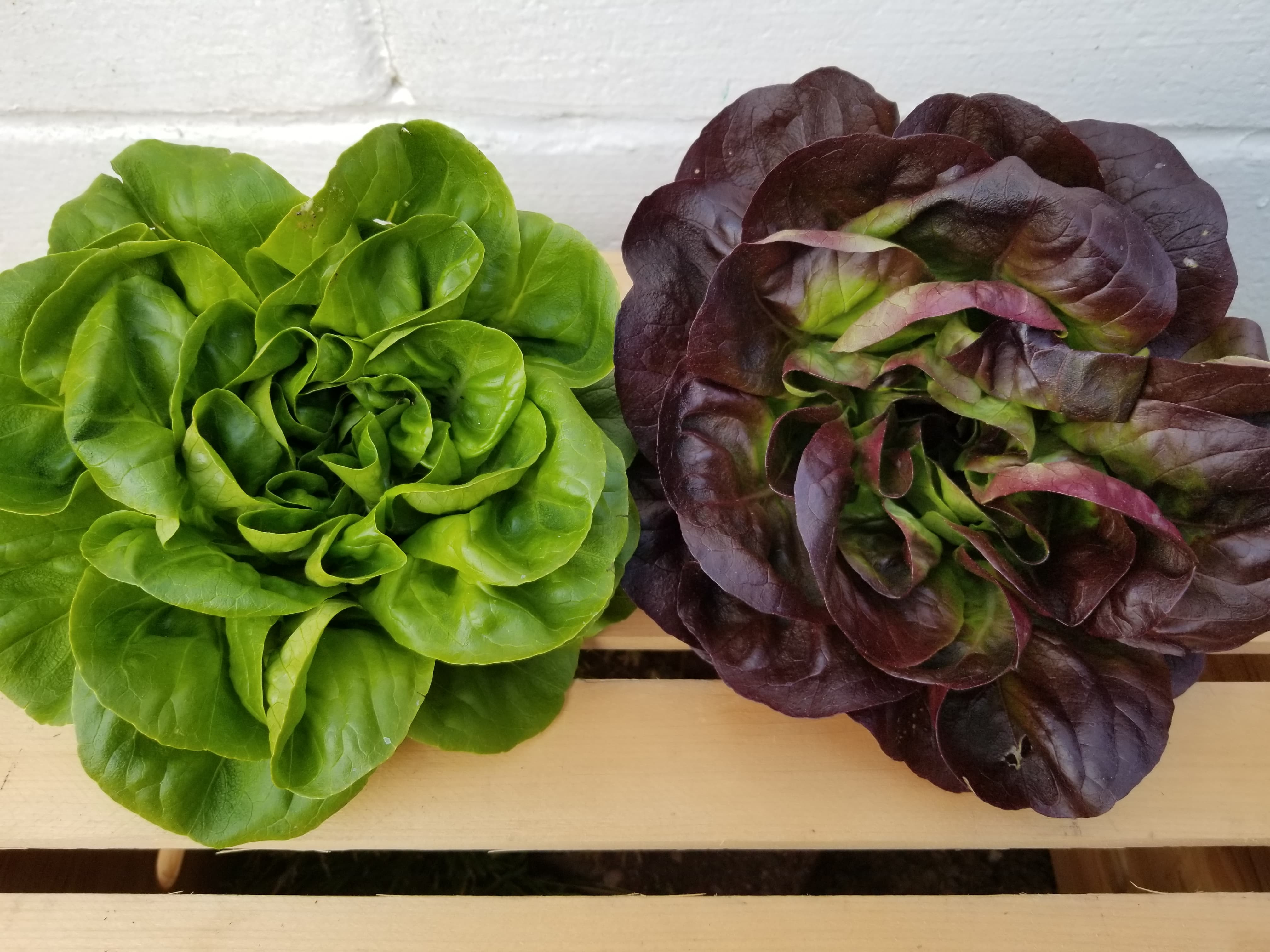 1 Green and 1 Purple Buttercrunch Lettuce
