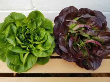 1 Green and 1 Purple Buttercrunch Lettuce