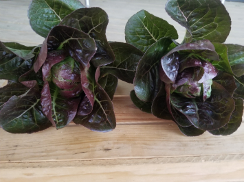 Mini Romaine Lettuce (2 Heads)