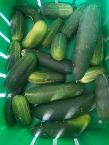 Bulk Cucumbers