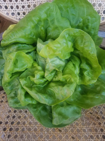 Green Butterhead Lettuce (1 Small Head)