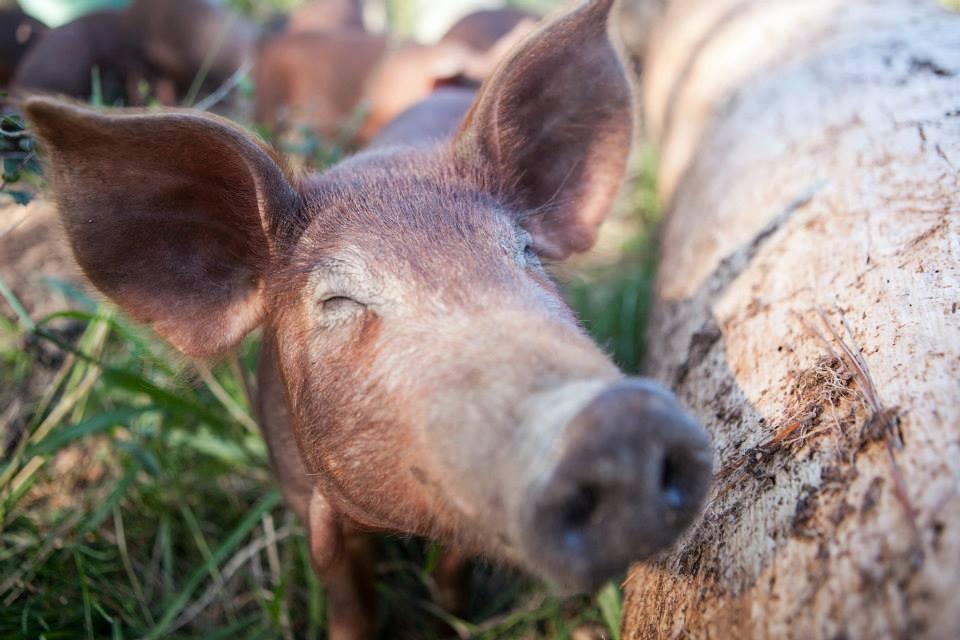 Pasture Raised Pork