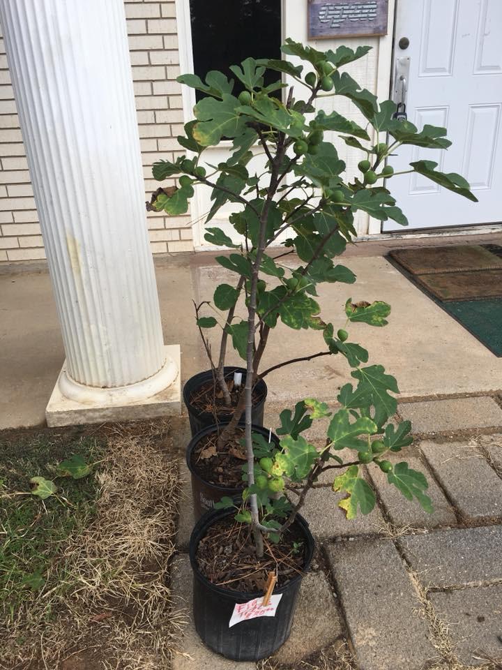 Fig Tree (Large)