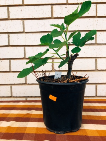 Fig Tree ( Small)