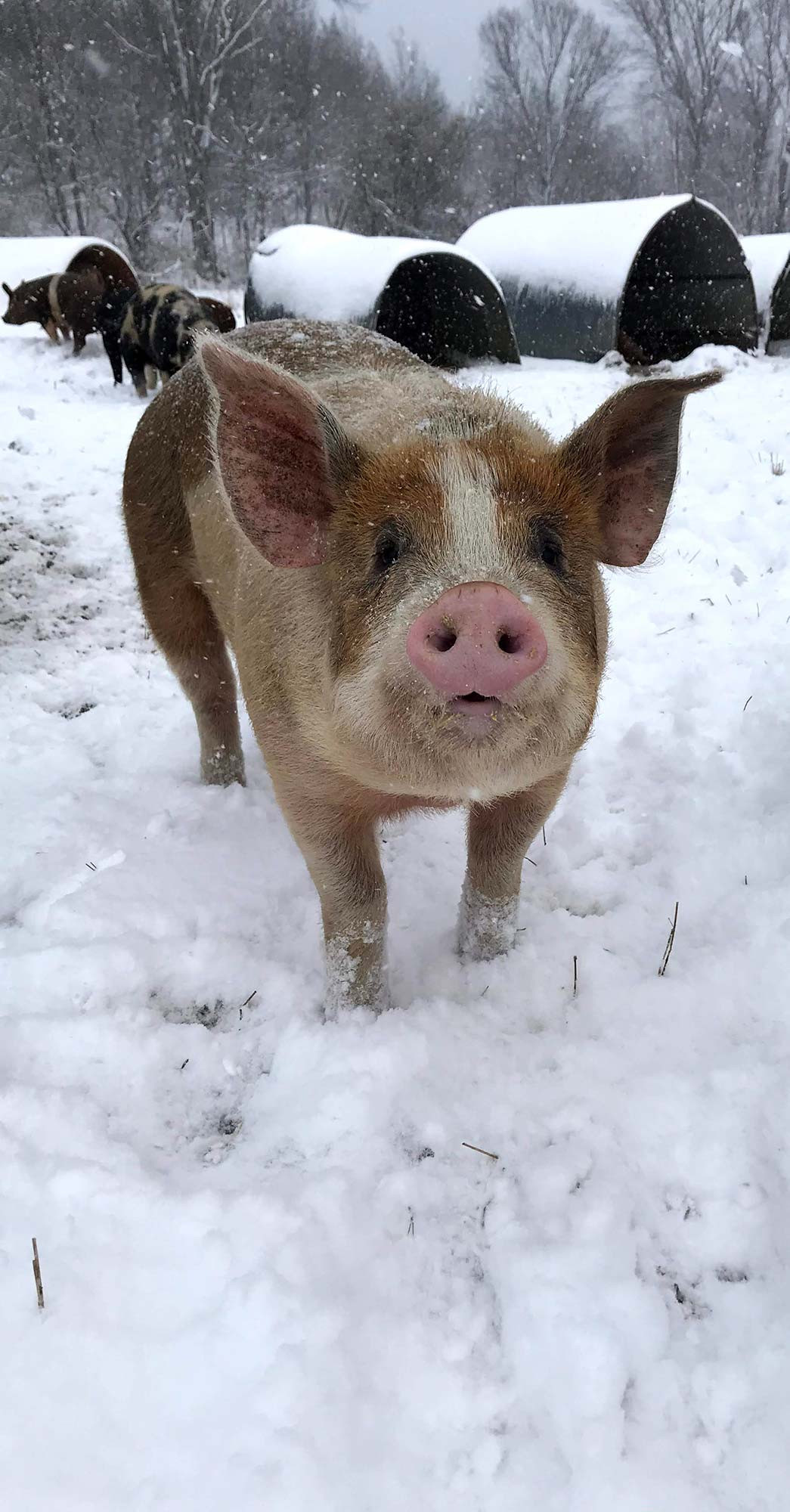 pigs in the winter